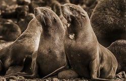 Noordelijke die ursinus van Callorhinus van de bontverbinding is een eared verbinding langs de het noorden Vreedzame Oceaan wordt stock afbeelding