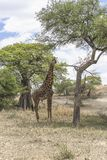 Noordelijke giraf royalty-vrije stock fotografie