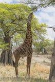 Noordelijke giraf royalty-vrije stock foto's