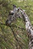 Noordelijke giraf stock afbeeldingen