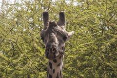 Noordelijke giraf stock afbeelding