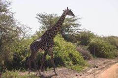 Noordelijke giraf stock fotografie