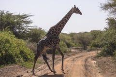 Noordelijke giraf stock foto