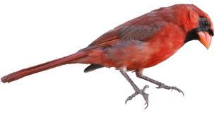 Noordelijke hoofd van Ohio of redbird of gemeenschappelijke kardinaal stock afbeeldingen