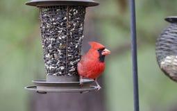 Noordelijke Hoofdvogel die vogelzaad, Georgië, de V.S. eten Stock Foto