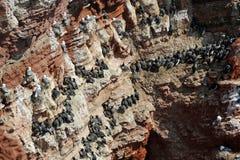 Noordelijke jan-van-gent en zeekoet Stock Foto's