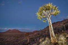 Noordelijke Kaapquiver boom Royalty-vrije Stock Afbeelding