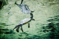 Noordelijke Kaartschildpad onderwater in de StLawrence-Rivier stock foto's