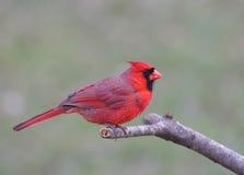 Noordelijke Kardinaal (cardinaliscardinalis) Stock Afbeelding
