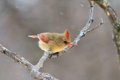Noordelijke Kardinaal - Kleurrijke Vogelachtergrond - Overlevend Amerika royalty-vrije stock foto