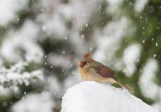 Noordelijke Kardinaal in Sneeuw Stock Afbeelding