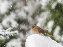 Noordelijke Kardinaal in Sneeuw Royalty-vrije Stock Fotografie