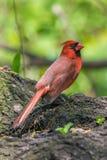 Noordelijke Kardinalen Stock Fotografie