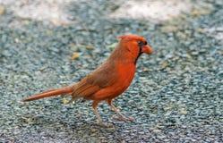 Noordelijke Kardinalen Stock Foto