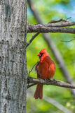 Noordelijke Kardinalen Stock Afbeelding