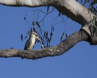 Noordelijke kookaburra in boom Royalty-vrije Stock Afbeeldingen