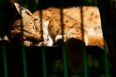 Noordelijke Lynx Royalty-vrije Stock Afbeelding
