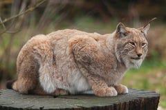Noordelijke Lynxkat Stock Afbeeldingen
