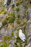 Noordelijke Noordse stormvogel royalty-vrije stock afbeeldingen