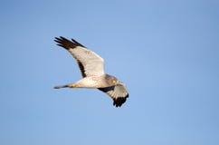 Noordelijke Plunderaar tijdens de vlucht, Marsh Hawk Stock Afbeeldingen