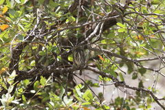 Noordelijke pygmy-Uil (1) Stock Fotografie
