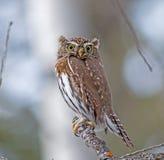 Noordelijke pygmy-Uil Royalty-vrije Stock Fotografie