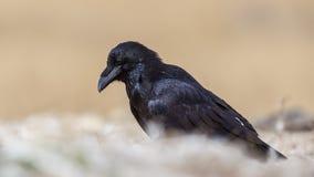 Noordelijke Raven Looking Down stock afbeelding