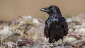 Noordelijke Raven Looking Left royalty-vrije stock foto's