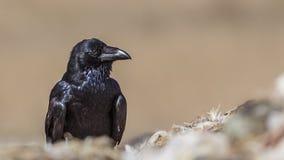 Noordelijke Raven Looking Right royalty-vrije stock afbeeldingen
