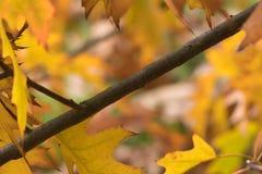 Noordelijke Rode Eik in de herfst stock foto's