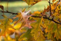 Noordelijke Rode Eik in de herfst royalty-vrije stock afbeelding