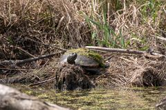 Noordelijke rood-Doen zwellen schildpad die op de rand van een vijver zonnebaden royalty-vrije stock afbeeldingen