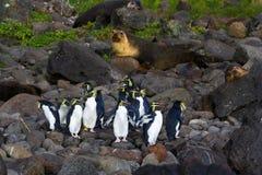 Noordelijke Rotsspringer, северный пингвин Rockhopper, хохлатый пингвин стоковые фото