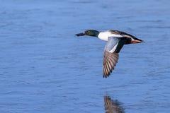 Noordelijke Slobeend Drake Flying Above en Bevroren over Meer stock foto's