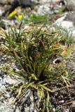noordelijke spleenwort of vertakt spleenwort royalty-vrije stock foto