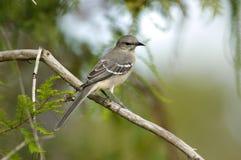 Noordelijke Spotlijster (polyglottos Mimus) Royalty-vrije Stock Fotografie