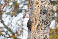 Noordelijke Trillingsvogel Royalty-vrije Stock Afbeeldingen