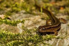 Noordelijke twee-Gevoerde Salamander Stock Afbeelding
