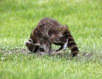 Noordelijke Wasbeer (Procyon-lotor) Royalty-vrije Stock Afbeelding
