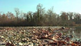 Noordelijke Waterthrush baadt in meer De herfst Op de kust zijn droge bladeren stock video