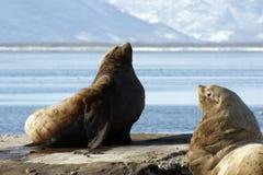Noordelijke zeeleeuw. Royalty-vrije Stock Fotografie