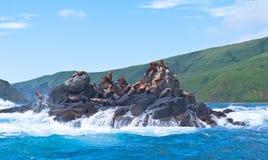 Noordelijke zeeleeuwen van Sakhalins eiland Moneron Royalty-vrije Stock Foto's