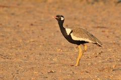 Noordelijke Zwarte Khorhaan - Wilde Vogelachtergrond van Afrika - bevlekte schoonheid en gele benen Stock Afbeeldingen