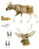 Noordeuropese Amerikaanse elanden Royalty-vrije Stock Foto