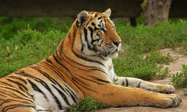 Noordoostelijke van China tijger in de Tijgerpark van Harbin, China Royalty-vrije Stock Foto's