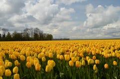 Noordoostpolder, Κάτω Χώρες, τομέας των τουλιπών Στοκ Φωτογραφίες