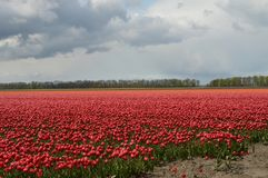 Noordoostpolder, holandie, pole tulipany obraz royalty free