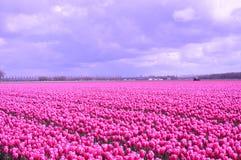 Noordoostpolder, Netherlands, field of tulips. Stock Photos