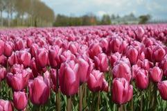 Noordoostpolder, Paesi Bassi, campo dei tulipani immagini stock