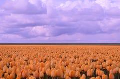 Noordoostpolder, Paesi Bassi, campo dei tulipani immagine stock